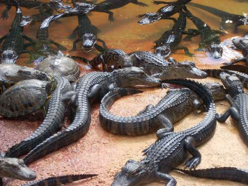 Alligators Swamp Everglades Turtles Heap Wildlife