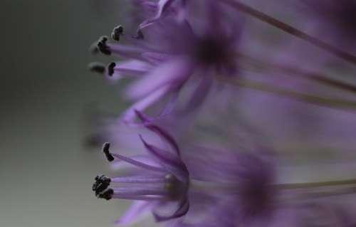 Allium Flowers Plant Purple Plants Perennial