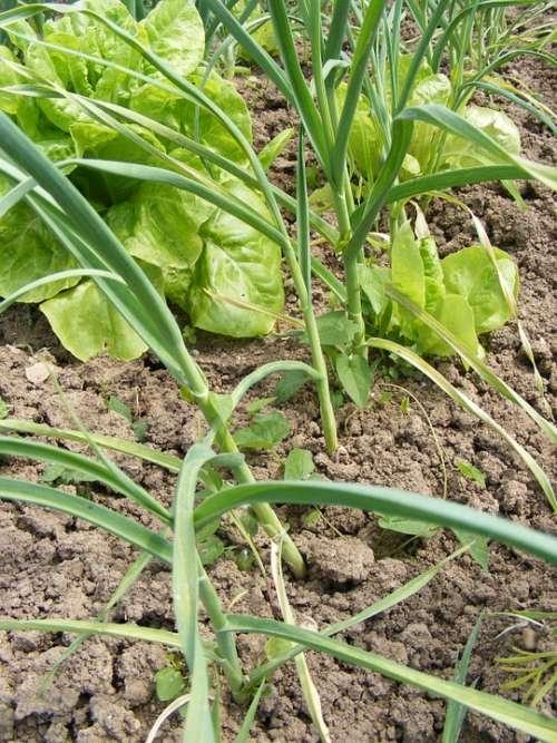 Allium Antioxidant Common Garden Garlic Green