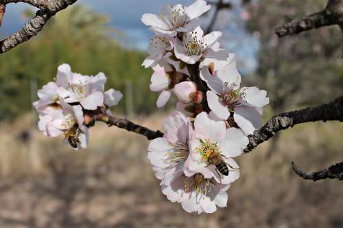 Almond Flower Bees Pollen Honey Insects Flowering