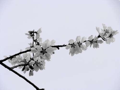 Almond Tree Almond Flower Nature Spring