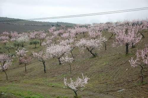 Almond Trees Flower Flowers