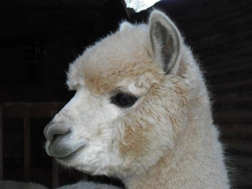 Alpaca White Curly