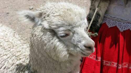 Alpaca Peru Andes Animal Furry Cuddly Nature