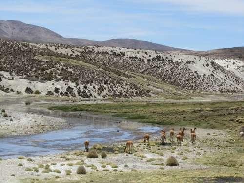 Alpaca Chile Parincota Kahl Mountains Hot