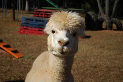 Alpaca Farm Animal White