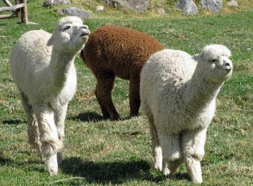 Alpacas Peru Colca Lodge Babies Nature Landscape