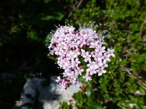 Alpine Flower Mountains Pink White