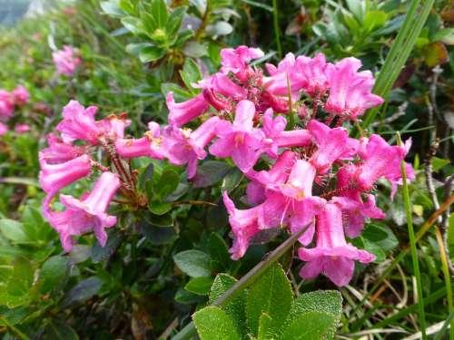 Alpine Rose Blossom Bloom Almrausch Mountain Flower