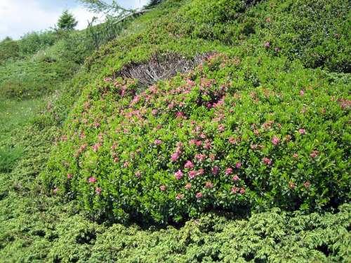 Alpine Roses Almrausch Mountain Flowers Bloom Pink