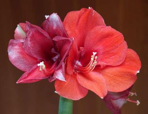 Amaryllis Blossom Bloom Flower Incomplete Nature