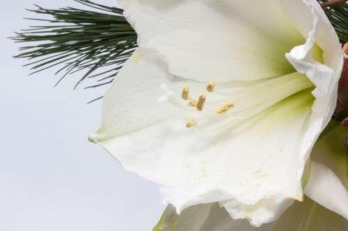 Amaryllis Flower Plant Botany Close Up