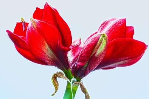 Amaryllis Red Flowers Flower Plant Botany