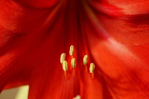 Amaryllis Pistil Close Up Red Blossom Bloom