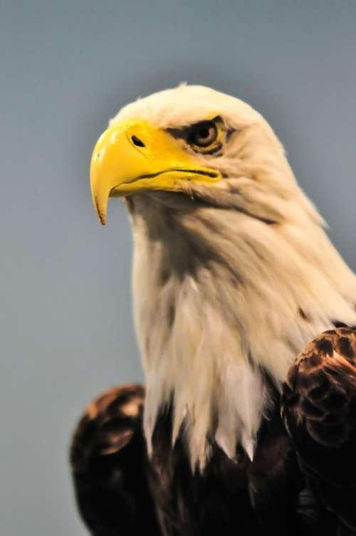 America American Animal Bald Beak Beauty Bird