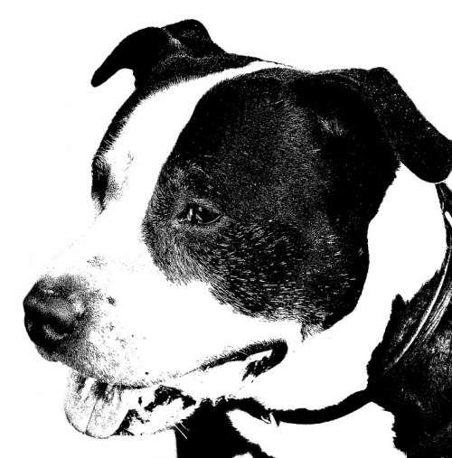 American Staffordshire Terrier Dog Pitbull Portrait
