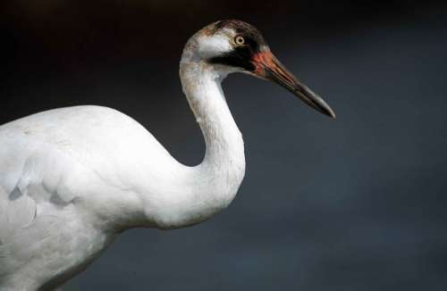 Americana Grus Bird Crane Whooping Cranes Birds