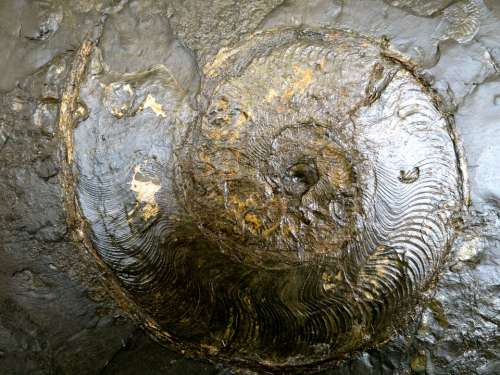 Ammonit Fossils Petrification Snail Stone
