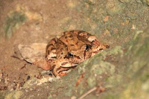 Amphibians Common European Frog Mountain Animals