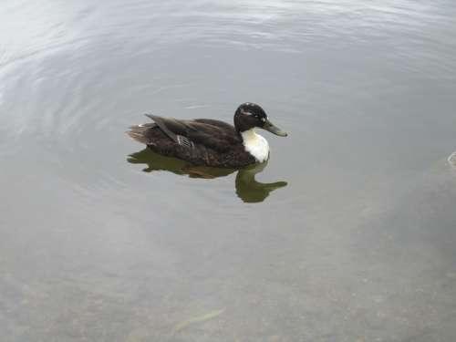 Anas Platyrhynchos Duck Animal Mallard Bird Water