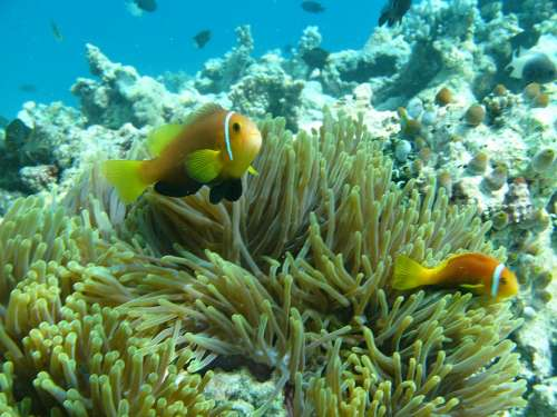 Anemone Maldives Water Ocean Fish Reef