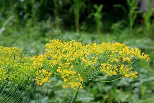 Anethum Apiaceae Dill Flowers Graveolens Herbs