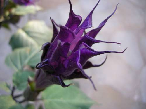 Angel Trumpet Blossom Bloom Datura Plant Purple