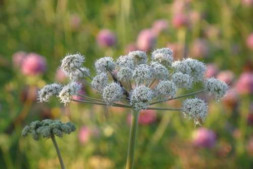 Angelica Weed Meadow Summer Nature Plant Field
