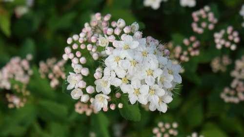 Angervo White Blossom Buds Flower Bush