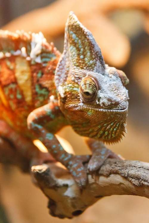 Animal Camouflage Chameleon Detail Dragon Exotic