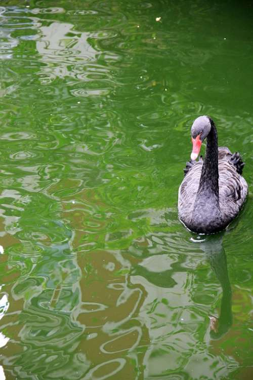 Animal Swan Black Lake Water Watercolor Green