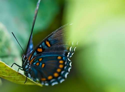Animal Battus Philenor Beautiful Beauty Black