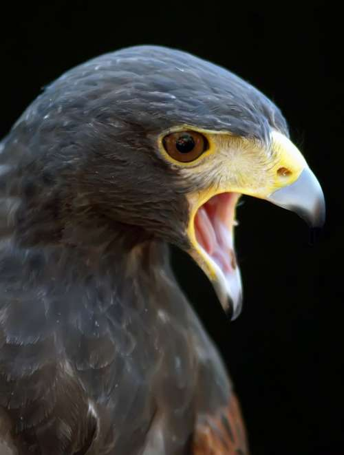 Animal Harris Hawk Hunter Space Action Angry
