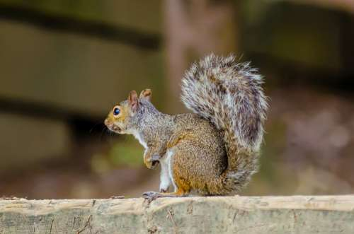 Animal Rodent Squirrel Eastern Gray