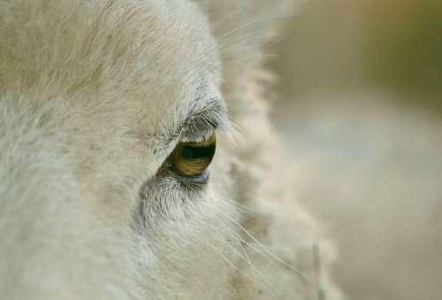 Animal Animals Nature Sheep Wool Head Fur
