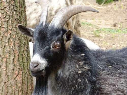 Animal Buck Does Coat Black Fur Horns