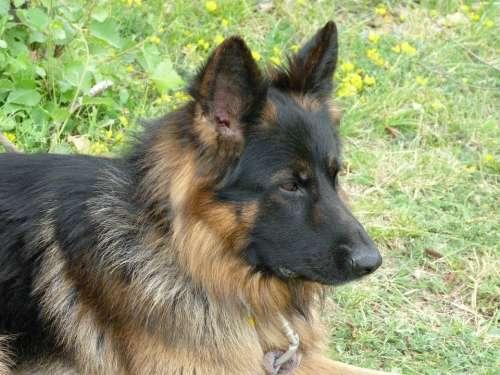 Animal Dog German Shepherd Pet Watchdog Animals