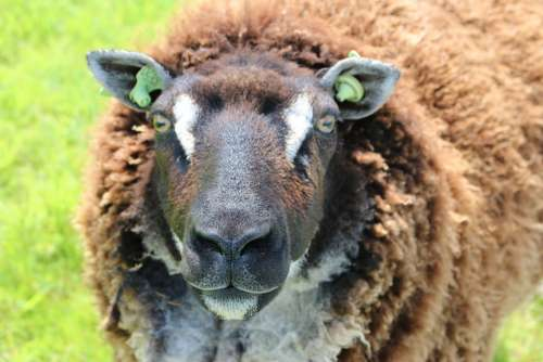 Animal Sheep Wool Nature Portrait Head