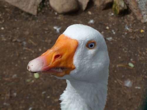 Animal Goose Bird Meadow Birds Bill Nature