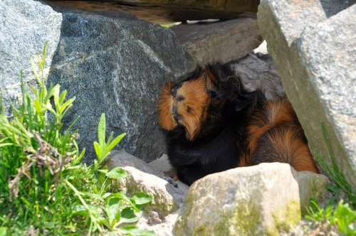 Animal Guinea Pig Nature