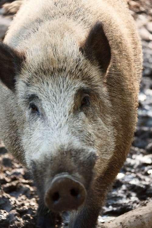 Animal Boar Brown Eye Forest Fur Hair Hog