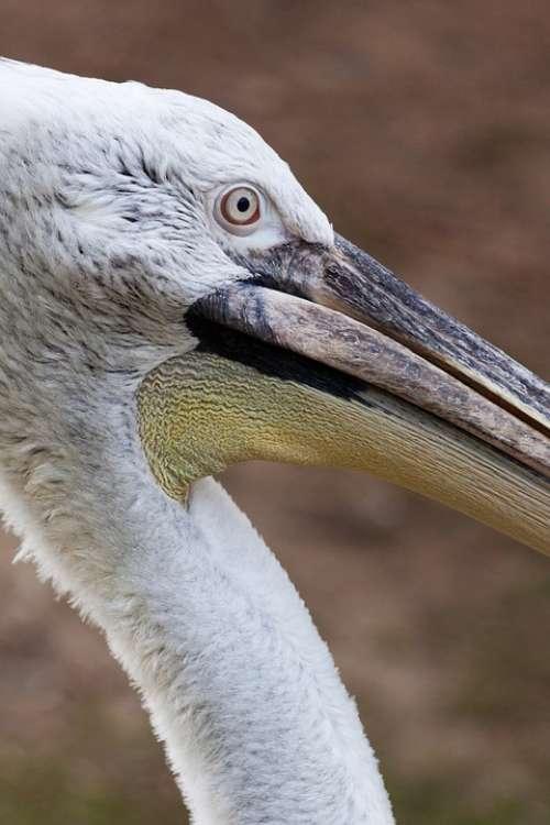 Animal Beak Bird Creature Feather One Pelican