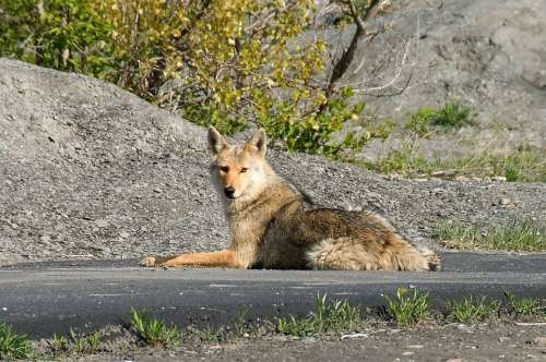 Animal Coyote Fox Sitting Street Walking