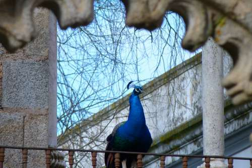 Animal Bird Peacock Park Color Iridescent