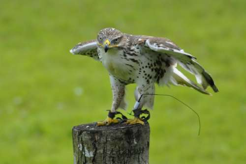 Animals Bird Falk Gyr Falcon