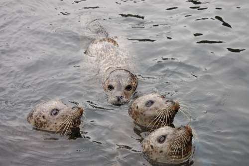 Animals Seals Water Zoo Sweet Snout North Sea