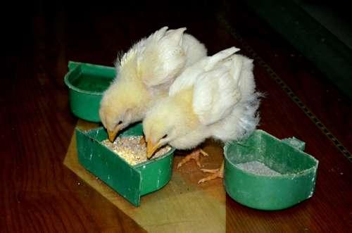 Animals Chickens Chicks Baby Chicks Farm Animal