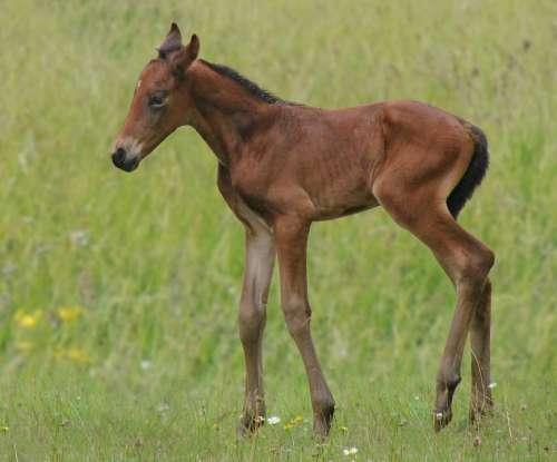 Animals Horse Foal Bai French Saddle