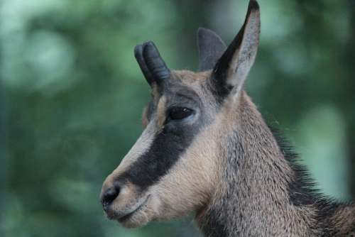 Animals Chamois Rupicapra Rupicapra Gams Wild
