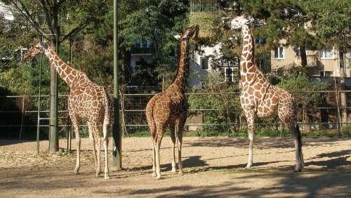 Animals Giraffes Nature Neck Africa